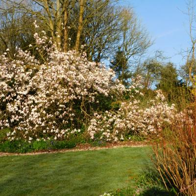Our magnificent magnolia in Spring